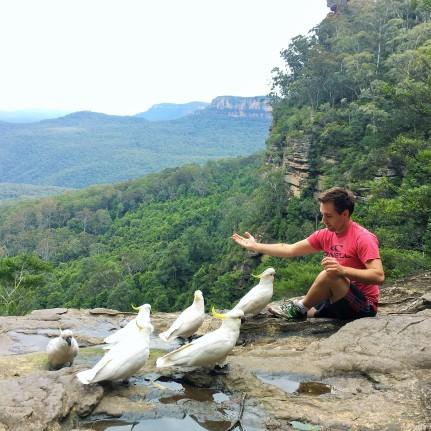 Blue Mountains cockatoos