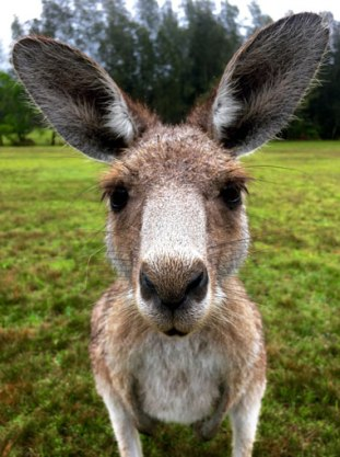 10-Kangaroo Morisset Park