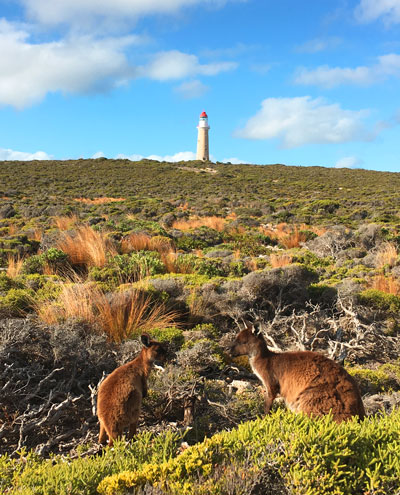 Kangaroos in Cape du Couedic
