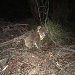 Koala at night