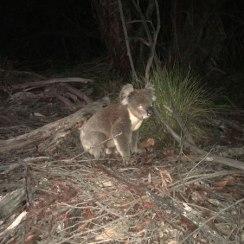 Koala at night