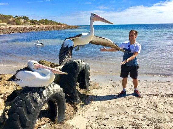 Emu-Bay-pelicans