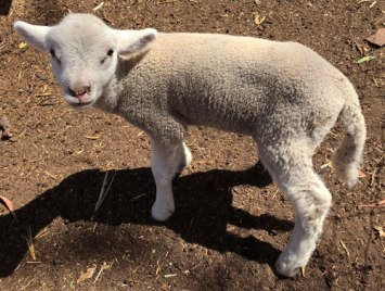 Island-Pure-Sheep-Dairy-lamb